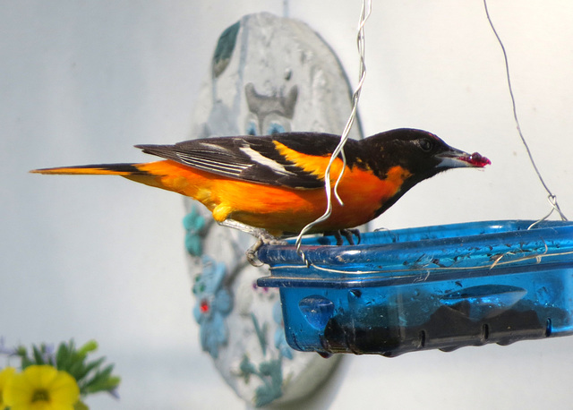 The Oriole is back