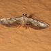 moth - Tana