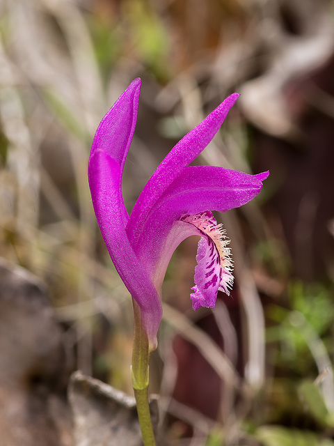 Arethusa bulbosa (Dragon's Mouth orchid)