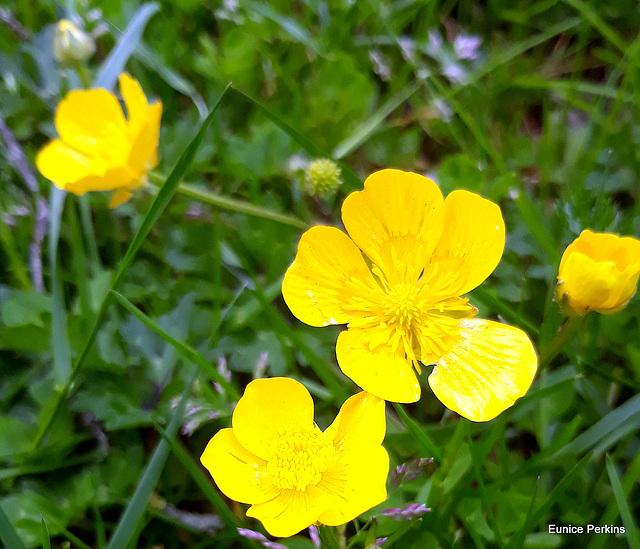 Yellow Buttercups.