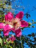 silk tassels tree