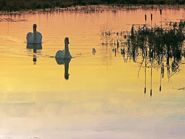 Swanning Off Into The Sunset