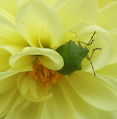 PUNAISE SUR DAHLIA/ BUG ON A DAHLIA