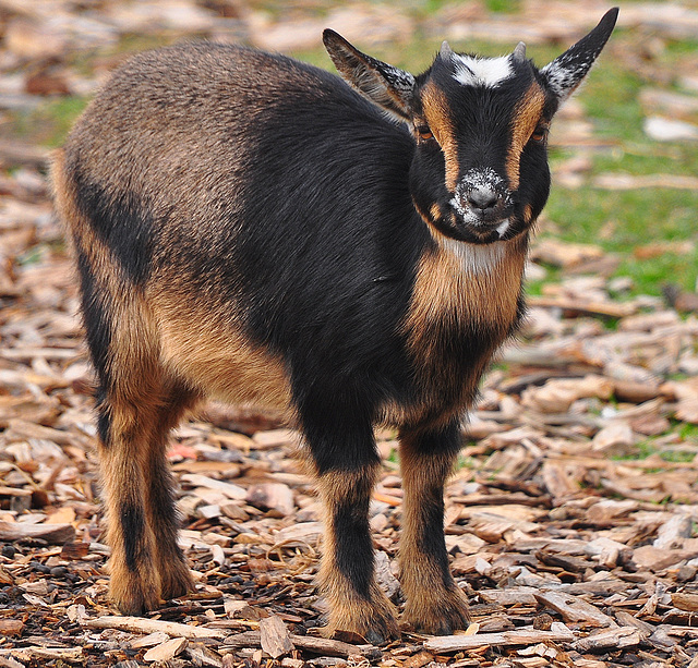 Goat at the American West Center