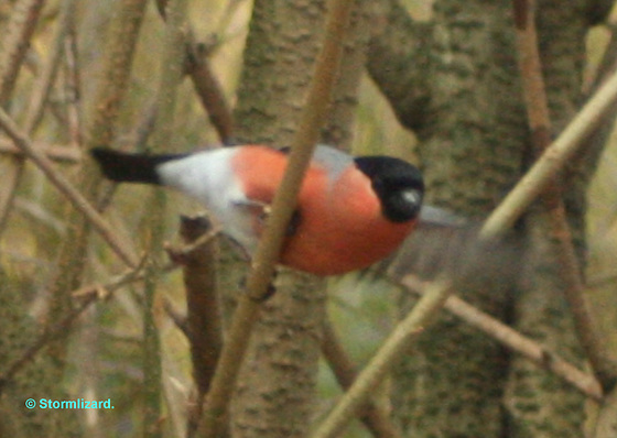 Bullfinch Male A M27 03