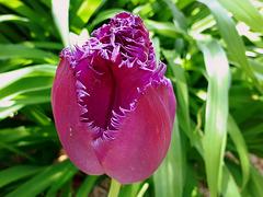 La tulipe ...........Théophile GAUTIER