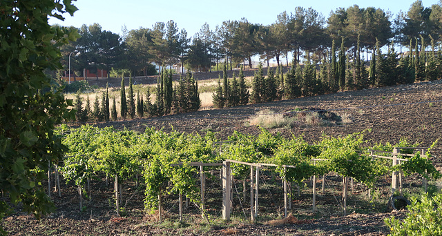 Vines and pines