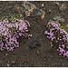 Barren highland flower