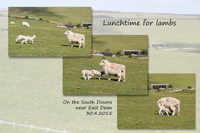 Lunchtime for lambs - East Dean - Sussex - 30.4.2015
