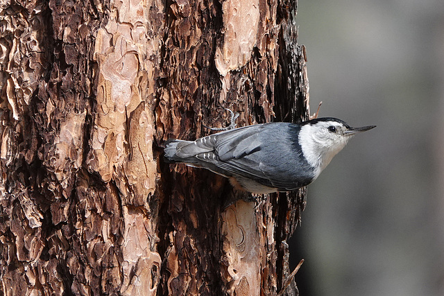 White-breasted Nuthatch, Sisters, Cold Spring Campground DSC2841