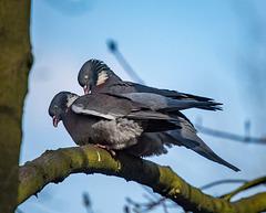 Wood pigeons at Eastham Woods