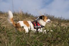 Jack Russell Terrier Clifford DSC09514