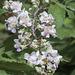 Zarzamora, Rubus Fruticosus/ ROSACEAE
