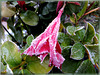 The last flowers of the Dipladenia surprised by ice and frost ... ©UdoSm