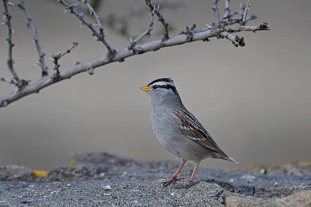 White-crowned Sparrow, Malheur NWR, HQ AWP 3058