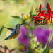 Victoria's Butchart Gardens, Part 4: Hummingbirds and More! (+10 insets)