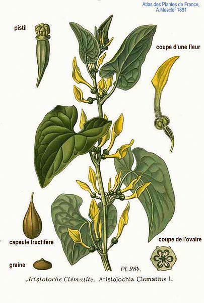 Aristolochia clematitis L