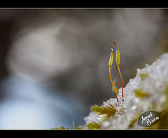 7/366: A Pair of Sporophytes in the Snow