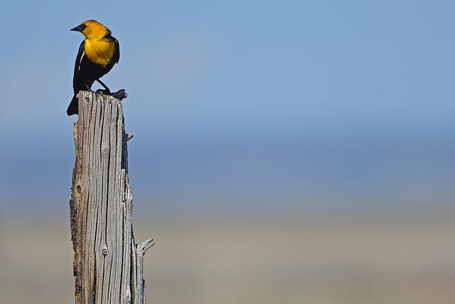 Yellow-headed Blackbird, Malheur NWR, HQ AWP 3134