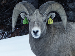 Bighorn Sheep, number 18