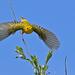 Yellow Warbler, Malheur NWR, HQ AWP 2328