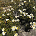 Cistus or jara or (in English) rock-rose, in its wild state, carpeting the mountainside in May around here.