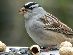 Day 9, White-crowned Sparrow, Tadoussac