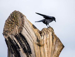 A crow on the remains of a favourite tree