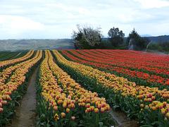 ...entre Lurs et Forcalquier ,ces beaux champs de tulipes...