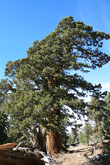 Giant Sierra Juniper.