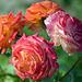 Blume der Blumen die Rose