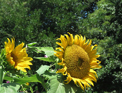 Sunshine !  For Smiley  !!