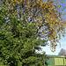 Kowhai Tree In Bloom.