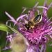 Wool Carder Bee (Anthidium manicatum)