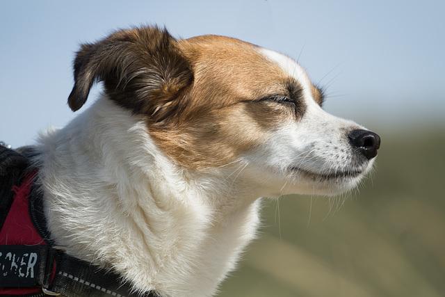 Jack Russell Terrier Clifford DSC09511