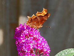 Comma Butterfly on pink Buddleia.