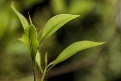 Clove leaves