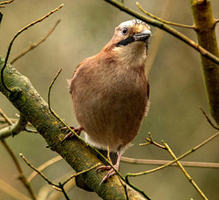 A jay in Eastham Woods