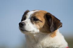 Jack Russell Terrier Clifford DSC09508