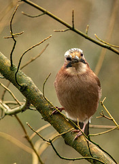 A jay in Eastham Woods2