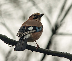 A jay in Eastham Woods3