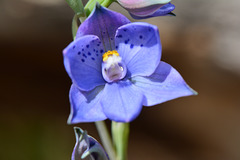 Thelymitra ixiodes.... the Blue Spotted Sun orchid.