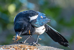 A magpie coming to the bird table