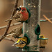 finches at feeder
