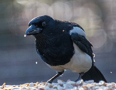 A magpie throwing nuts around11..