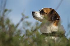Jack Russell Terrier Clifford DSC09507