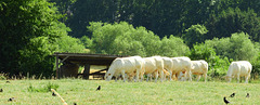Cows in a row don't crow