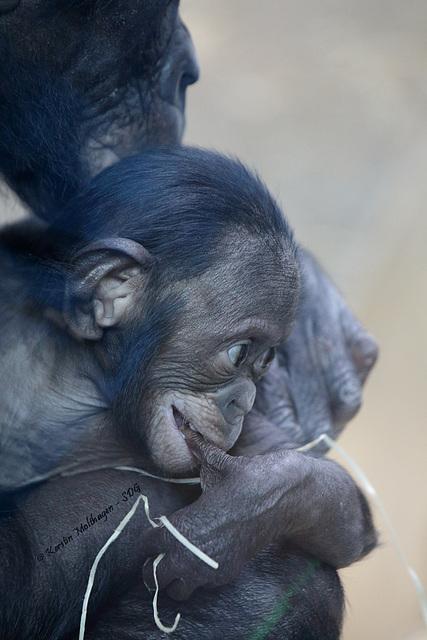 Bonobobaby Nila (Wilhelma)