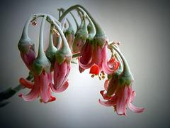 cotiledon undulata