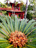 Palmfarn (Cycas revoluta). ©UdoSm